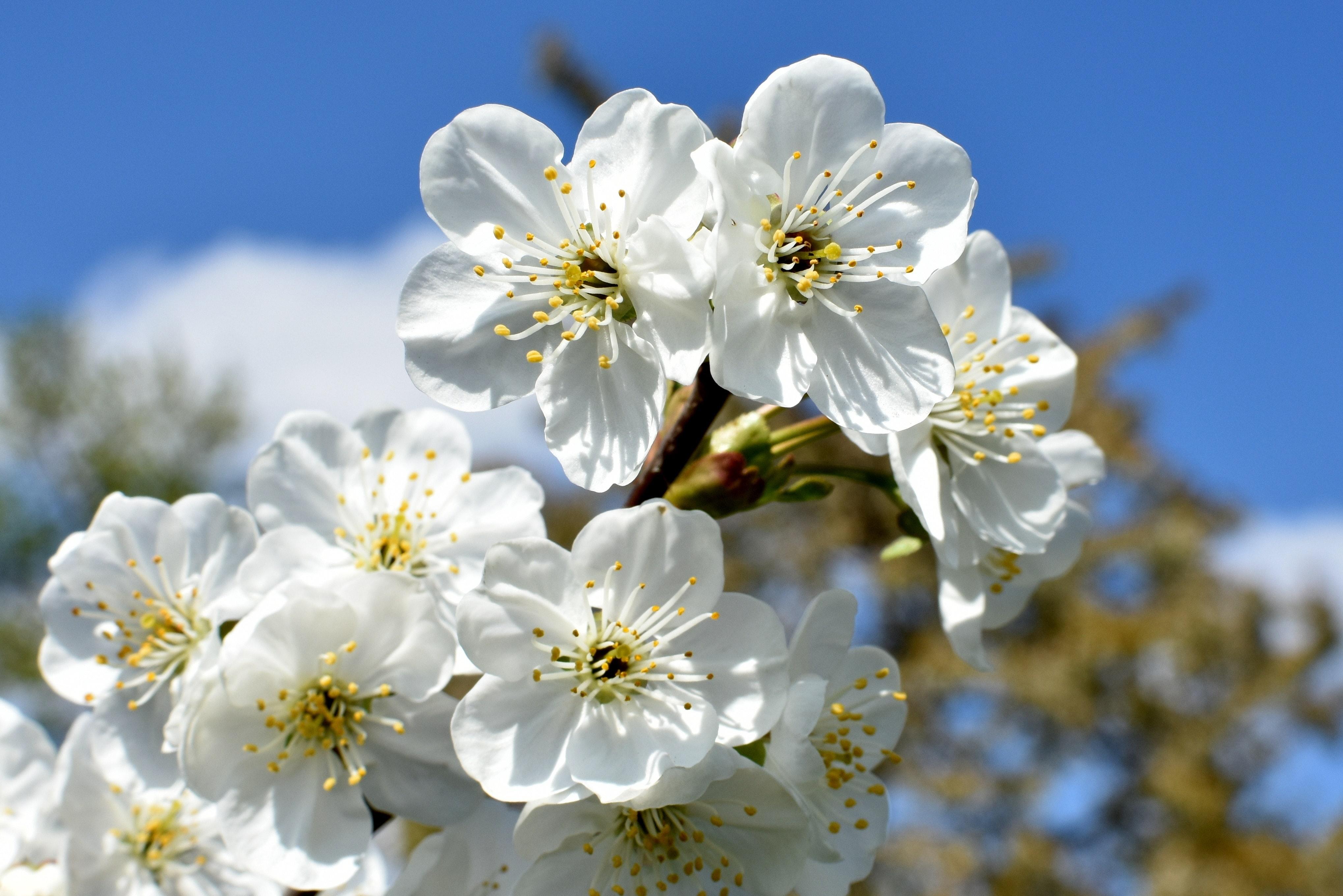 fleurs de cerisiers blanches devant un ciel bleu